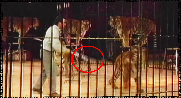 Tiger Threatened With Stick