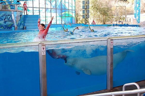 Many belugas at SeaWorld are forced to perform stupid tricks over and over.