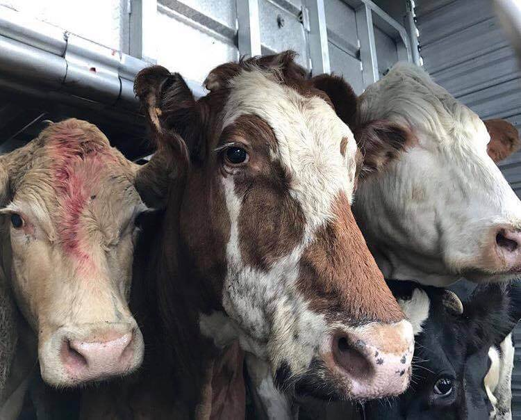cow transport truck cruelty, how hamburgers are made