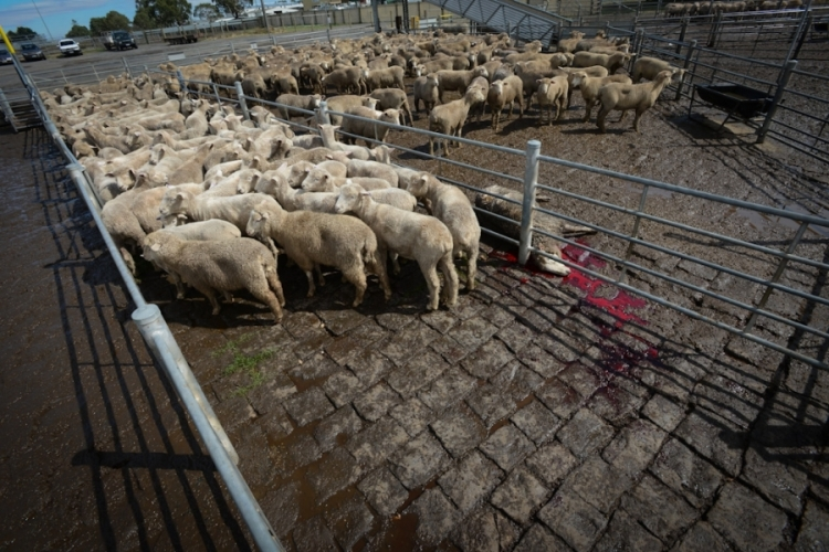 Dead Sheep Auction We Animals