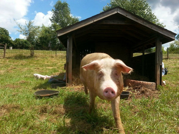 Pig with House