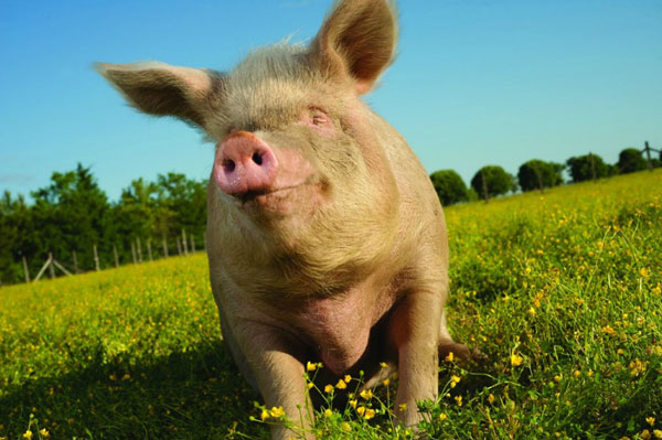 11 Reasons You Might Not Eat Bacon Ever Again | peta2