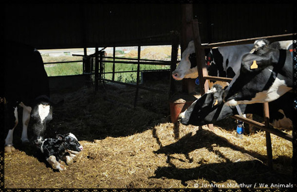 Dairy Farm Cow with veal calf