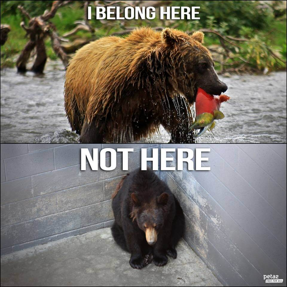 Seventeen bears had been held captive in virtually barren concrete pits at Black Forest Bear Park in Helen, Georgia, but now they are living it up at the stunning 60-acre natural habitat at The Wild Animal Sanctuary in Keenesburg, Colorado.