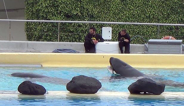 loro parque 12 orcas with trainers