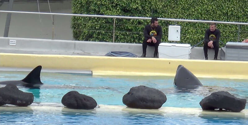 loro parque 13 orcas with trainers again