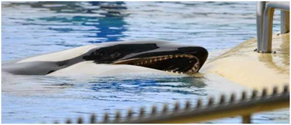 orca-biting-sides-of-tank