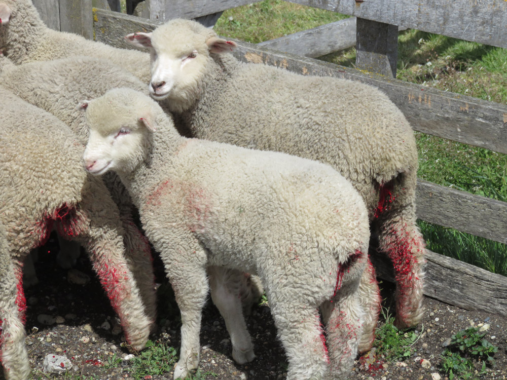 patagonia Blood dripping onto lambs back legs from their tail wounds
