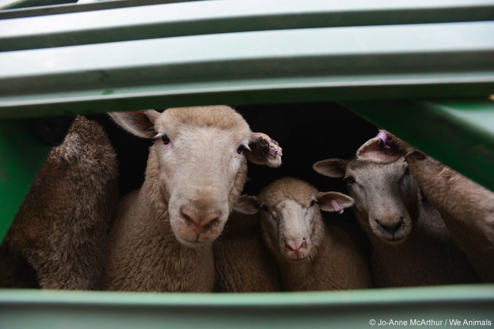 sheep used for wool in transport truck
