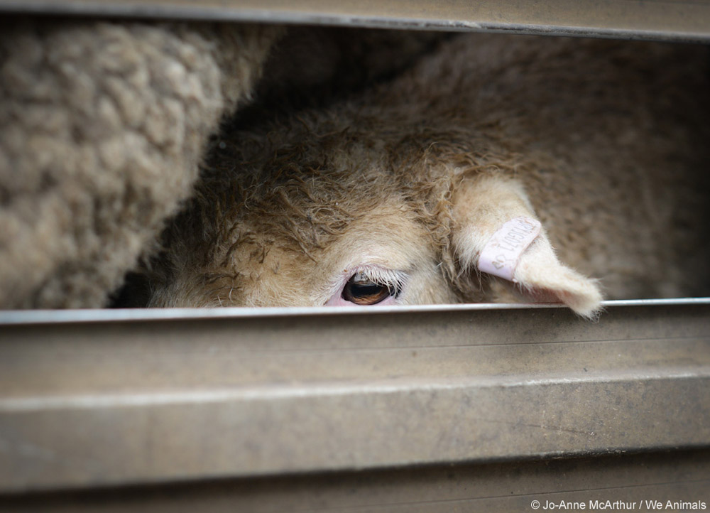 sheep used for wool in transport truck close up