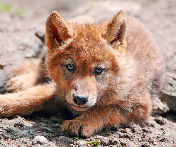 Wolf-Pup