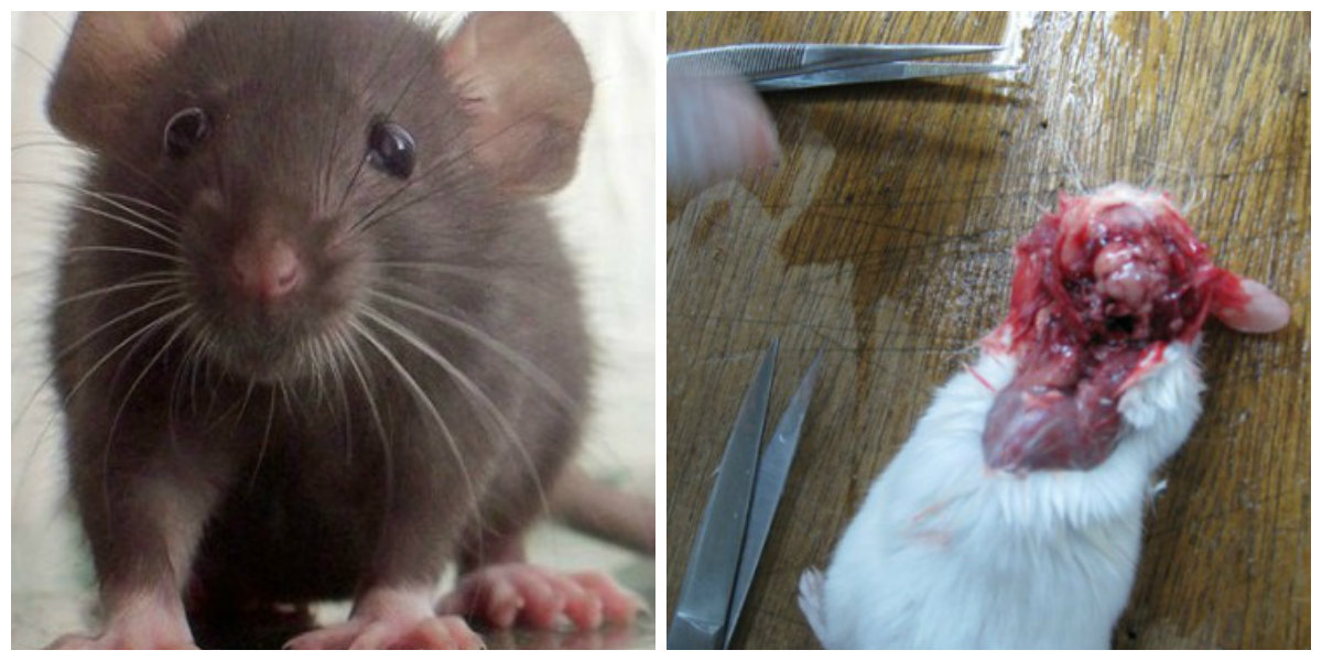 rats for dissection