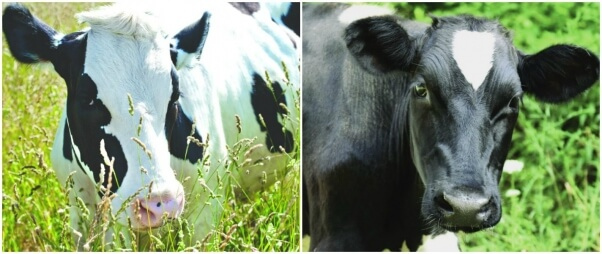 Peter-and-Jerry-the-Cows-602x254