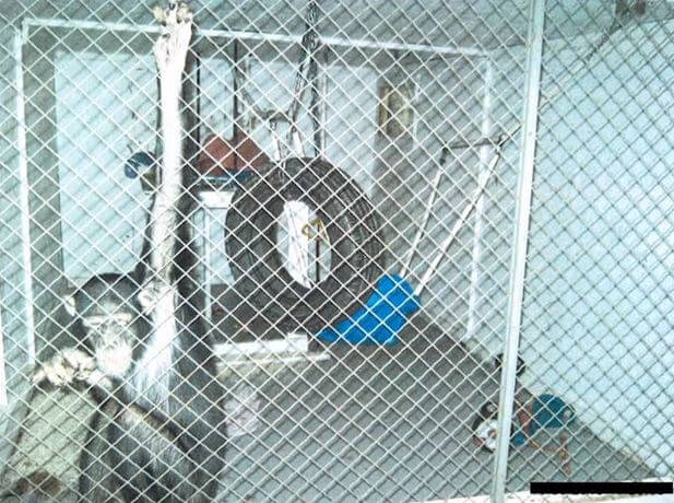 lisa marie chimpanzee  in cage
