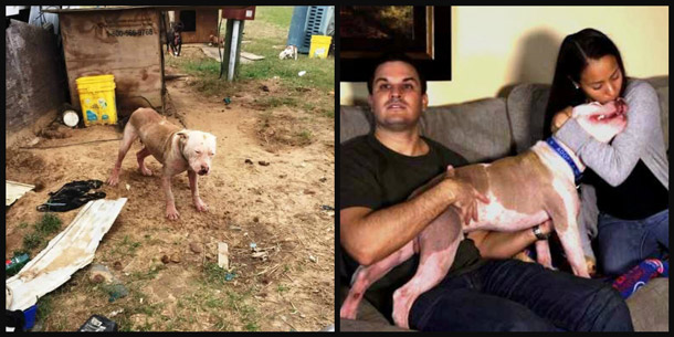 PETA field workers rescued this chained pit bull Pinky who suffered from a sever case of mange.