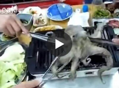 Watch: Octopus Stabbed and Eaten ALIVE