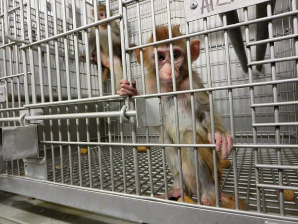 Young-Monkeys-in-a-Barren-Cage-primate-products-602x452