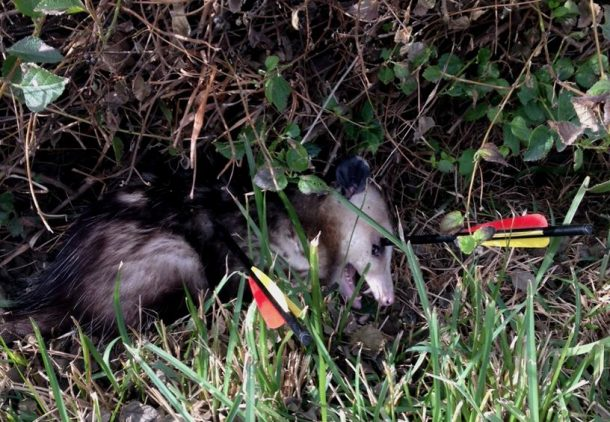 opossum with arrows in grass