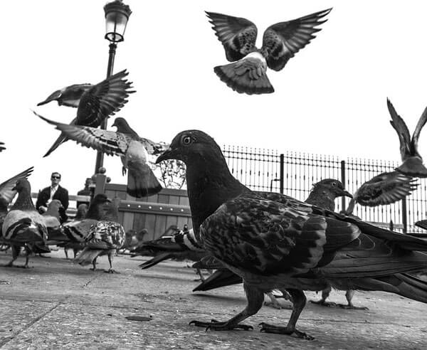 Pigeon Black and White