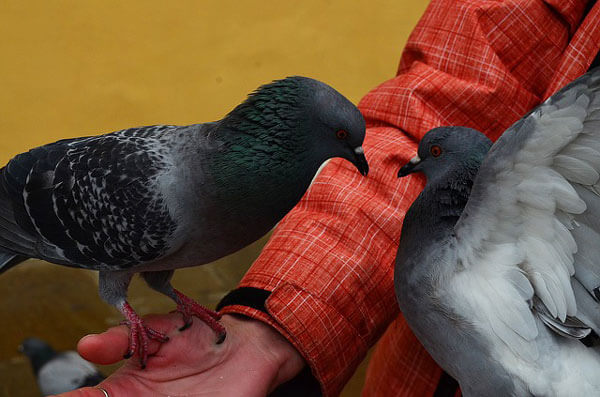 Pigeons-in-man's-hand