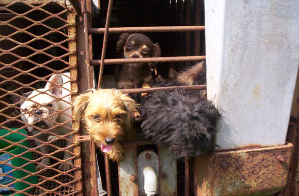 Dogs-in-a-puppy-mill