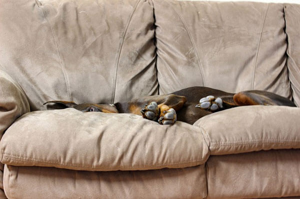 Doberman-on-Couch