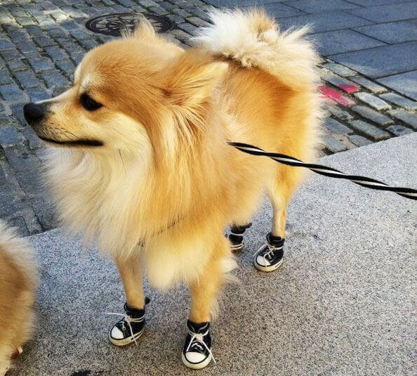 Dog-in-Shoes