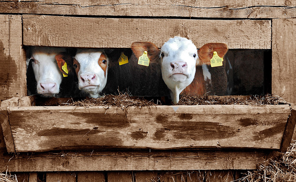 veal-calves-in-wooden-crates