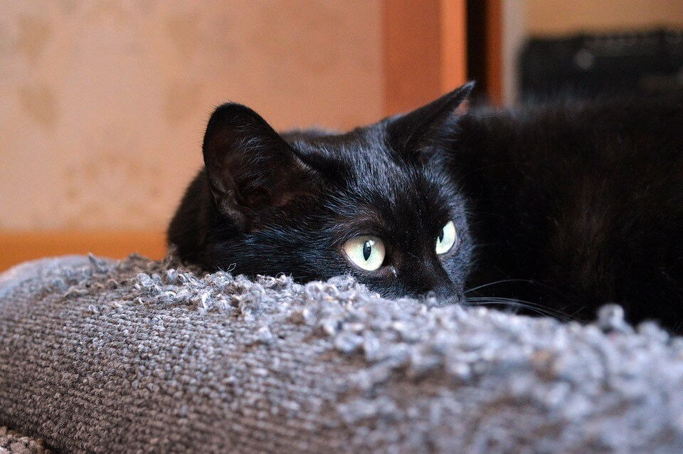 black cat, black cat adoption, black cat adoption rates, black cats adopted less