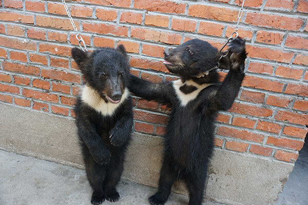 chines-circus-bear-cubs-chained-to-wall