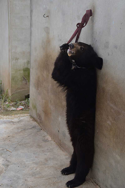chines-circus-bear-tied-to-wall