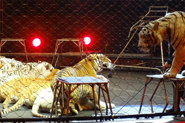 ringling tigers frightened