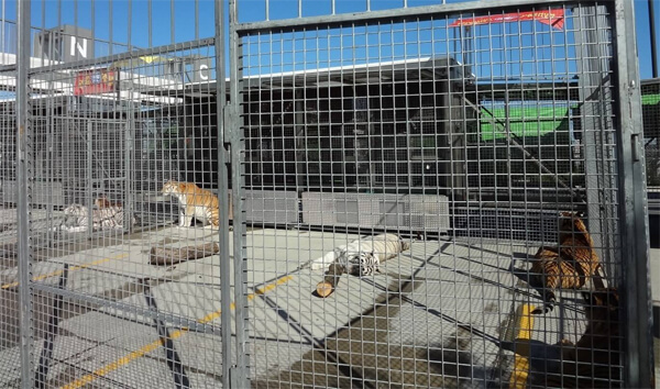 ringling tigers in cages
