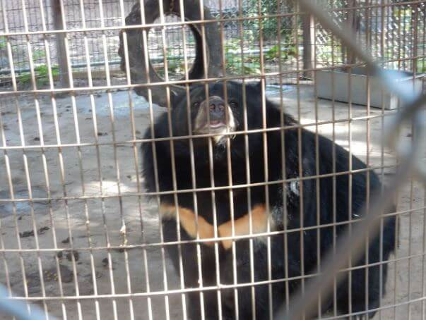 lily the bear in cage with tire swing