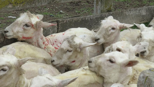 """An eyewitness documented cruelty that you could be supporting if you buy """"Italian wool""""—here's what they found."""