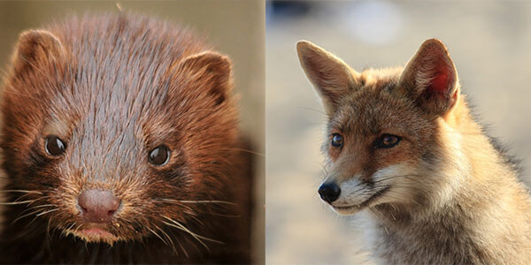mink-and-fox