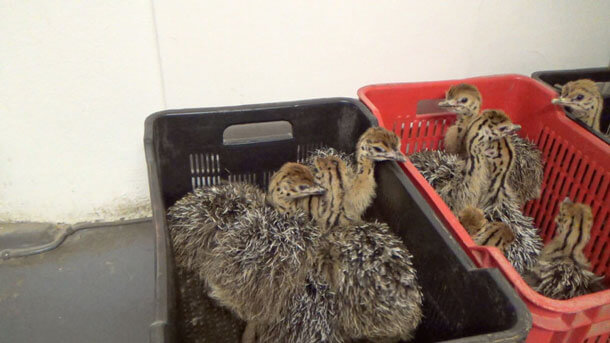 Eyewitnesses capture video of Hermès and Prada suppliers butchering young ostriches.