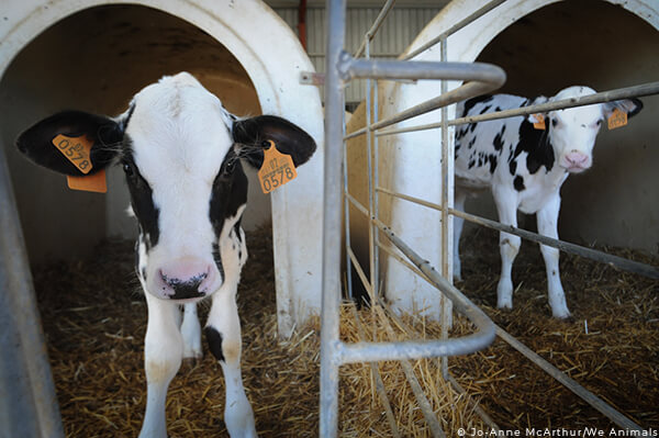 veal, calf, baby, cow, dairy