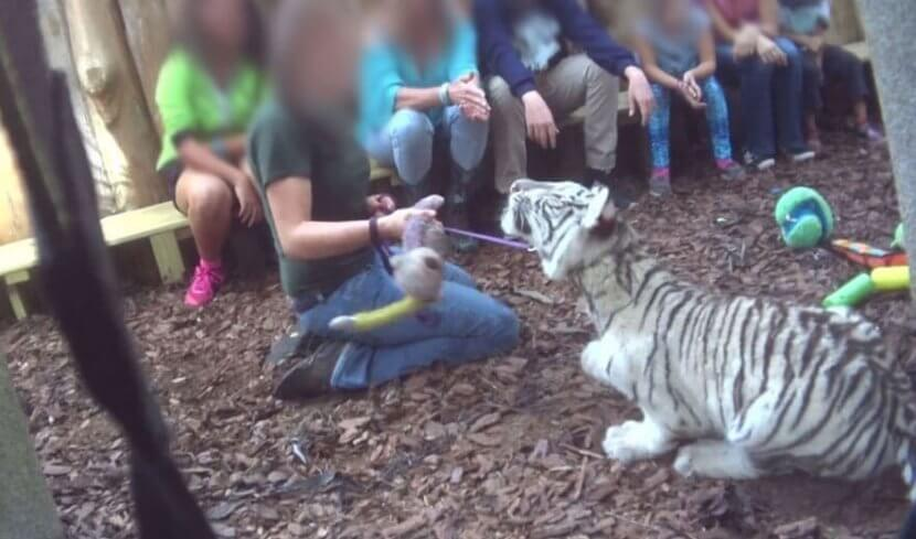 tiger encounters cruelty, tiger cruelty, dade city's wild things