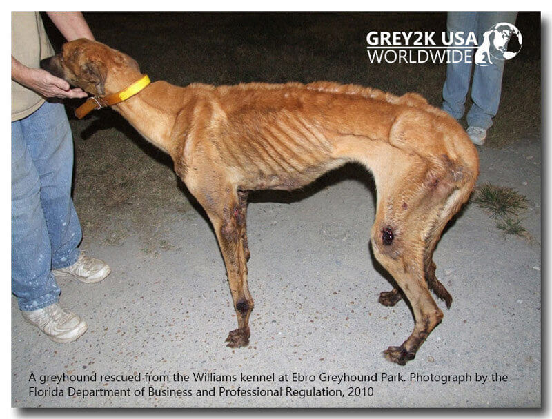 Lots Of Dogs Suffer In The Greyhound Racing Industry