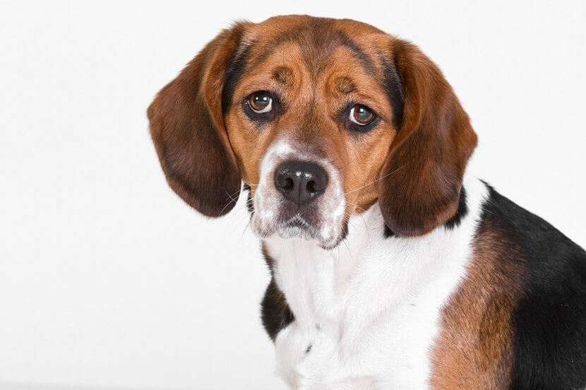 animal testing, dog animal testing, animal testing on dogs