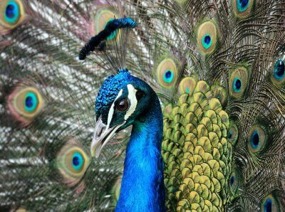 Dying for Selfies: Beautiful Peacock Is Latest to Be Killed for People's Photos With Animals