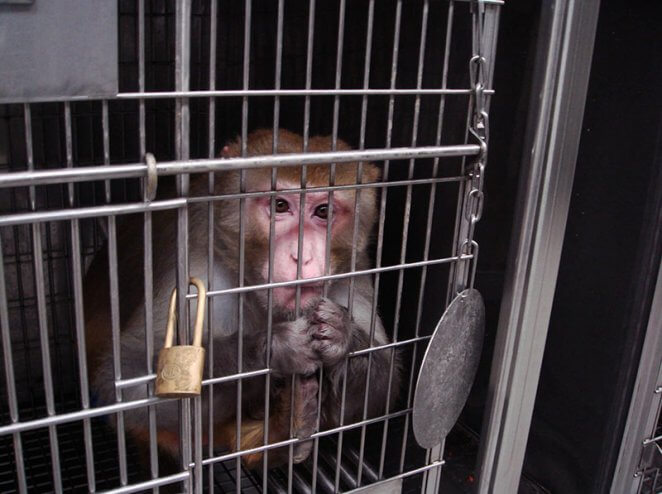 VICTORY! Following PETA Campaign, AirBridgeCargo Bans Transport of Monkeys to Labs