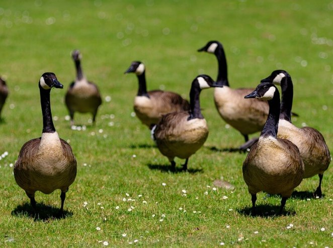 14 Geese Were Found Decapitated—Reward of Up to $10,000 Offered for Help