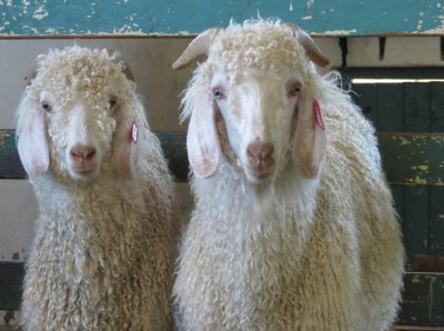 These Top Brands Have BANNED Mohair Sales After PETA Exposé