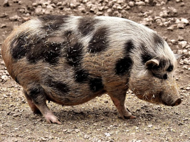 Are Mini Pigs Actually a Thing?