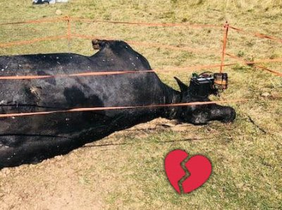 Cows' Bodies Reportedly Mutilated for Western Series 'Yellowstone'