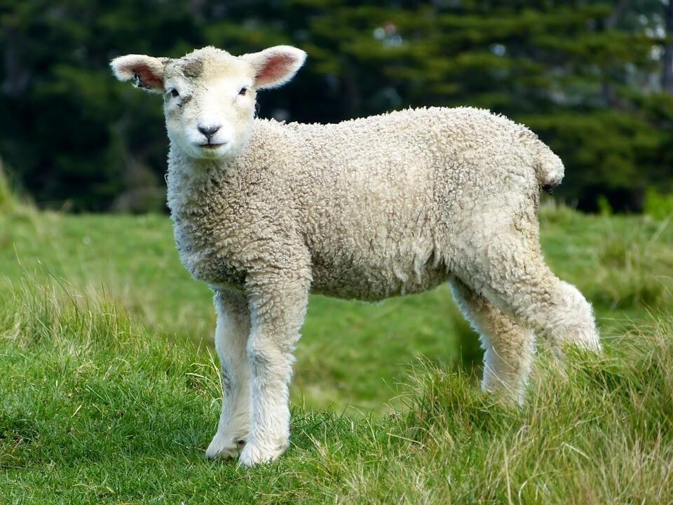 Lambs Got To Do What Lambs Got To Do